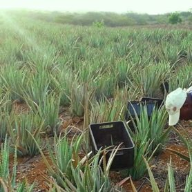 Aloe Vera Plantation and Curacao Ecocity Projects